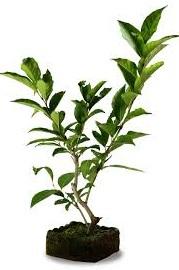 bonsai rambutan