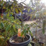 Durian Dalam Pot
