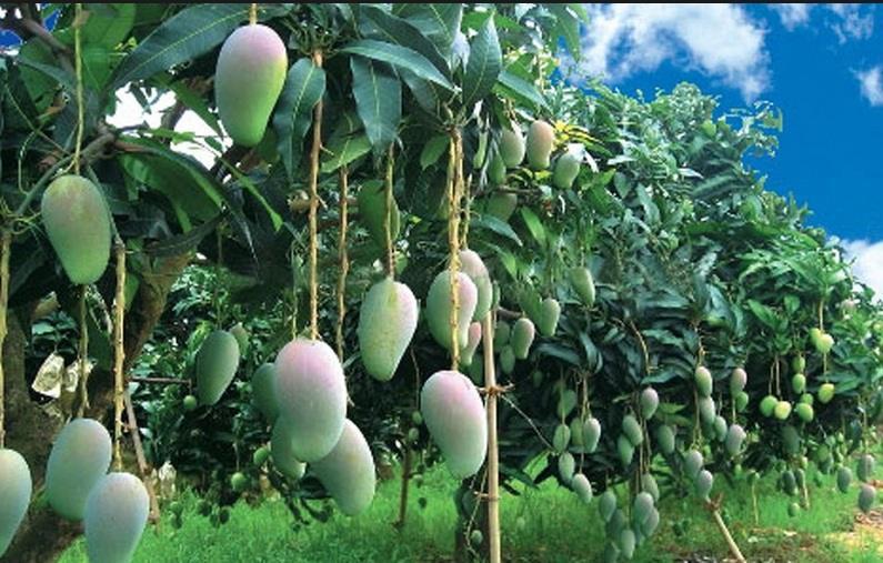 Kebun Mangga