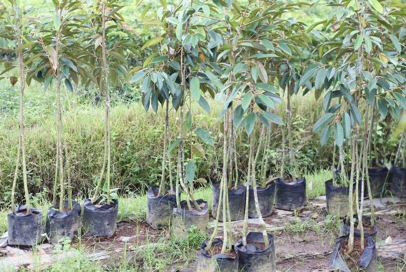 bibit durian musang king kaki 3