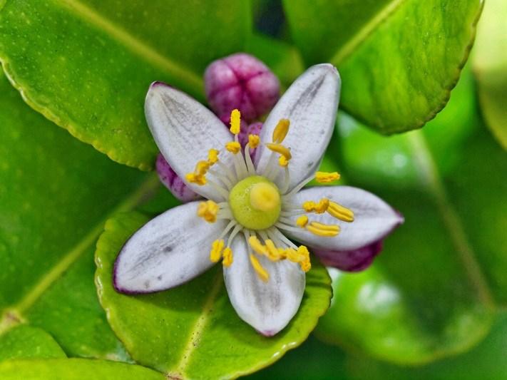 Bunga Jeruk Nipis