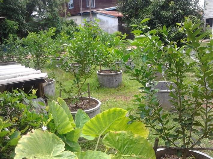 Kebun Jeruk Nipis