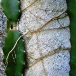 Akar epifit buah naga