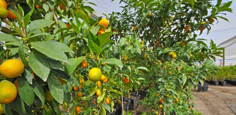 Bibit Jeruk Mandarin