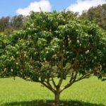 Pohon Buah Mangga
