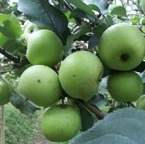 Apel Manalagi