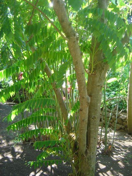 Gambar Pohon Belimbing Wuluh